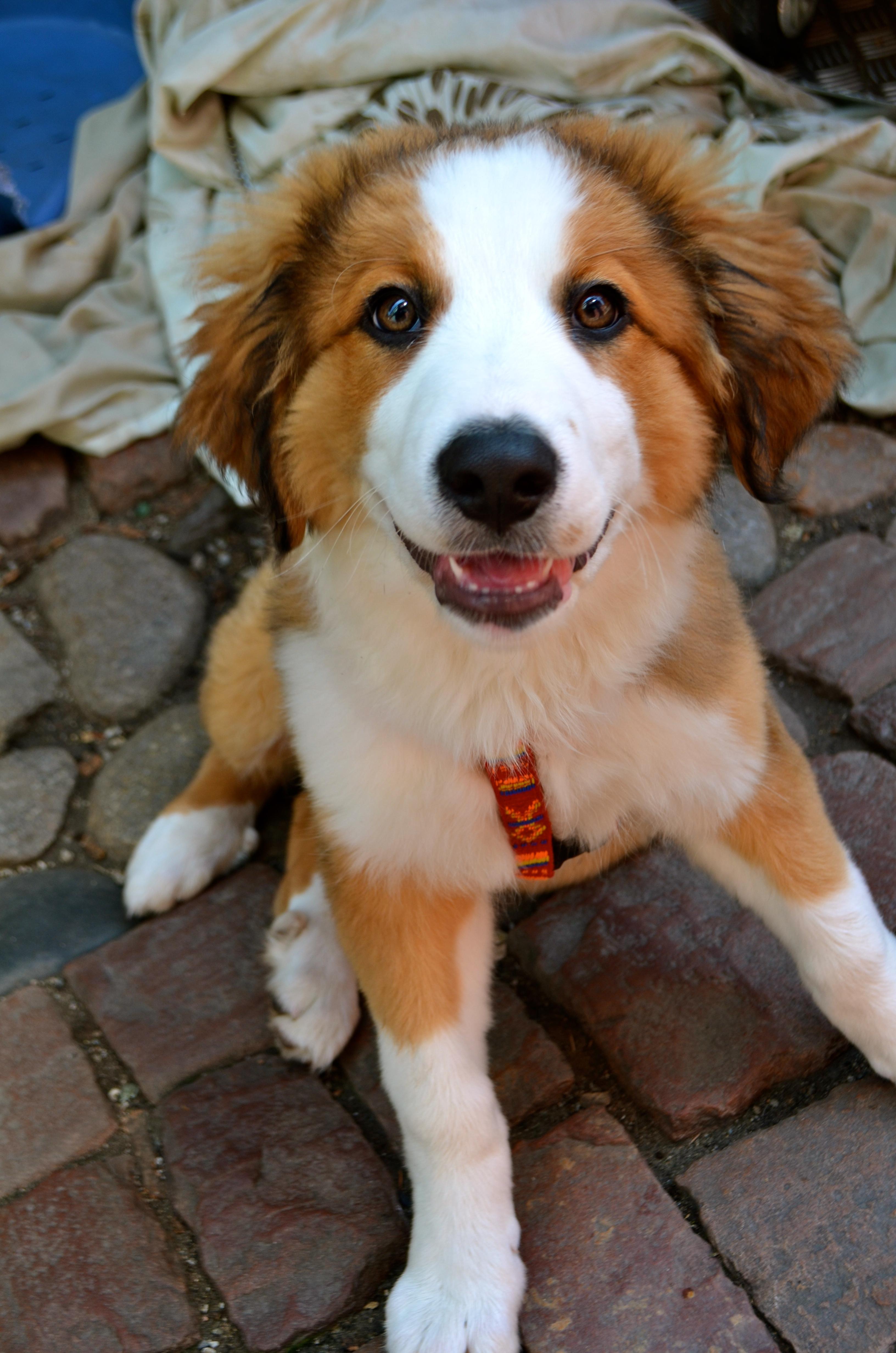 Labrador X Bernese Mountain Dog Puppie