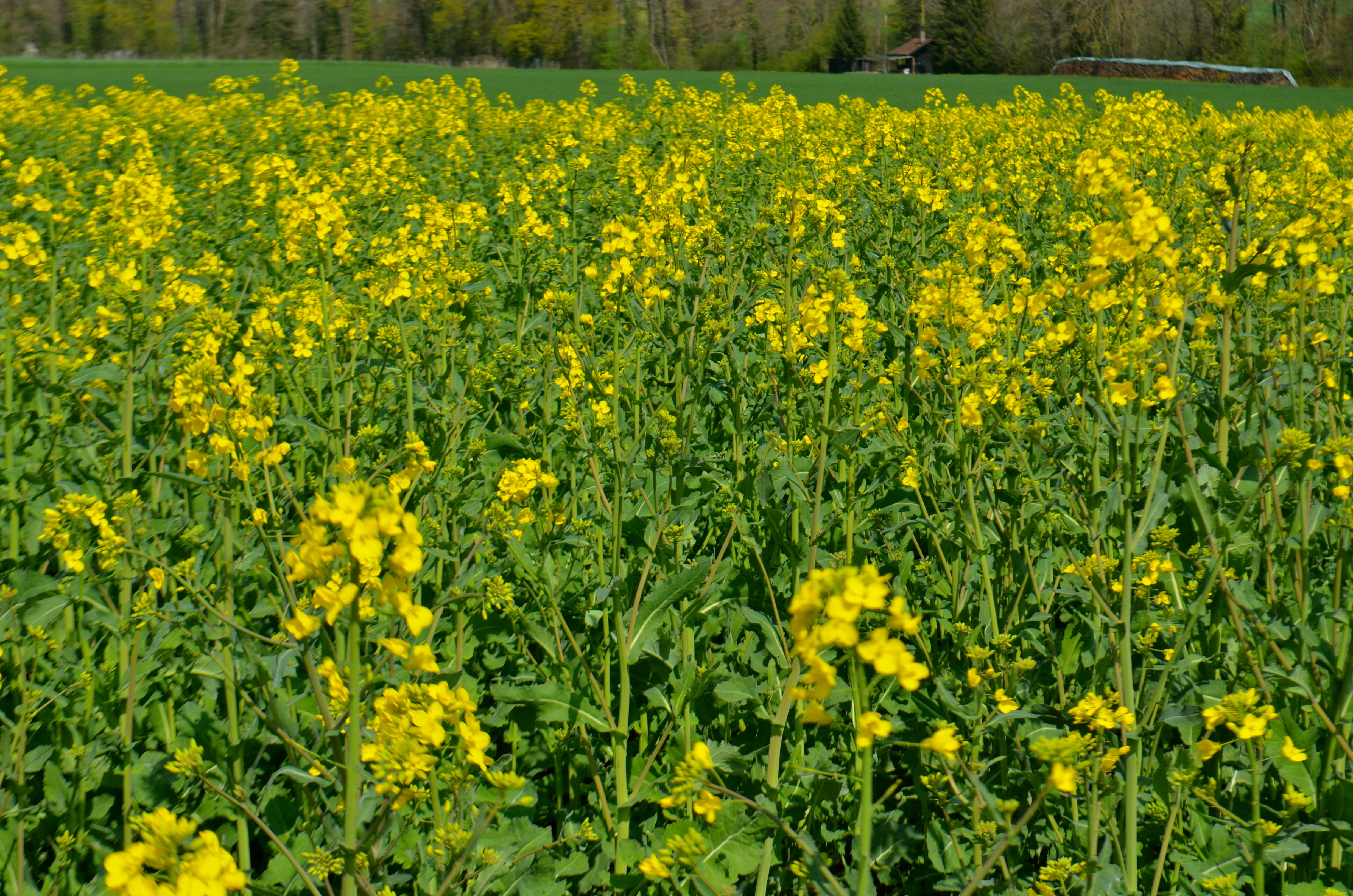 Spring is our yellow period schwingeninswitzerland related articles mightylinksfo Images